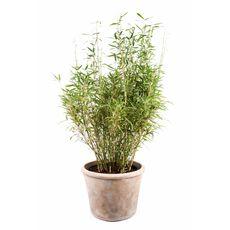 """Bambus """"Bimbo"""", bilde. 1"""