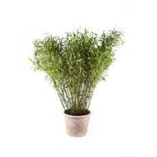 """Bambus """"Jumbo"""", bilde. 1"""