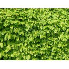 Bøkehekk i rødt og grønt (50 - 80 cm), bilde. 4