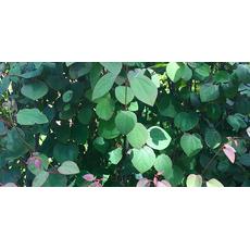 Hjertetre (Ferdighekk 125 cm+), bilde. 5