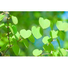 Hjertetre (Ferdighekk 125 cm+), bilde. 1