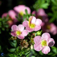 Buskmure 'Pink Beauty', bilde. 1