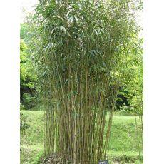 "Bambus ""Pseudosasa"", bilde. 2"