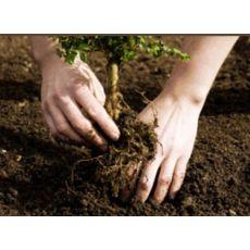 Planting av hekk, bilde. 1