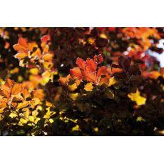 Bøkehekk i rødt og grønt (50 - 80 cm), bilde. 5