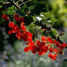Rips 'Rød Hollandsk', bilde. 2