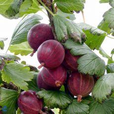 Stikkelsbær 'Hinnonmäki rød', bilde. 1