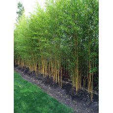 "Bambus ""Spectabilis"", bilde. 3"