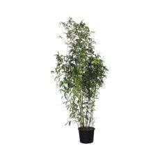 "Bambus ""Spectabilis"", bilde. 1"