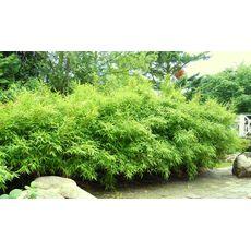 """Bambus """"Bimbo"""", bilde. 2"""
