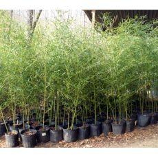 """Bambus """"Bissett"""", bilde. 3"""