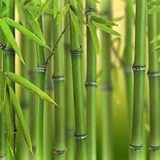 """Bambus """"Bissett"""", bilde. 2"""