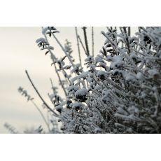 Vinterliguster ( 50 - 100 cm), bilde. 8