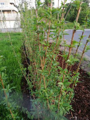 Liguster liga barrotsplanter
