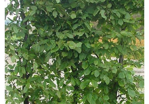 Agnbøk (Ferdighekk 125 cm +), bilde. 3