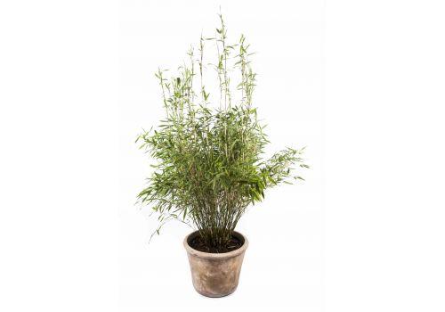 """Bambus """"Simba"""", bilde. 1"""