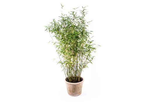 """Bambus """"Dino"""", bilde. 1"""