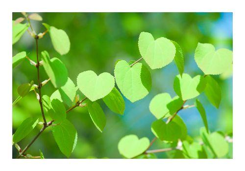 Hjertetre (Ferdighekk 125 cm+), bilde. 7