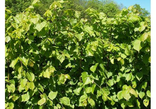 Småbladlind Kafèkasse, bilde. 2