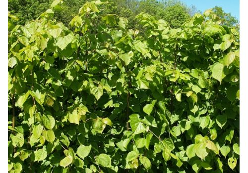 Småbladlind  (30 - 80 cm), bilde. 2