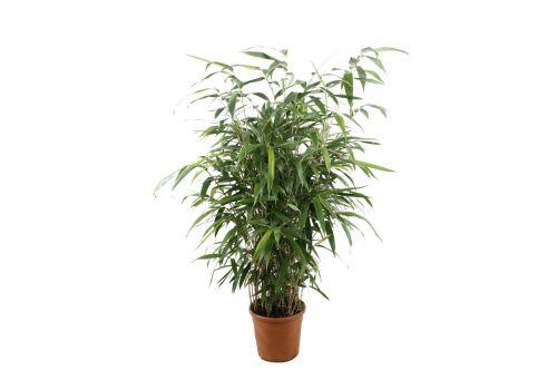 "Bambus ""Pseudosasa"", bilde. 1"