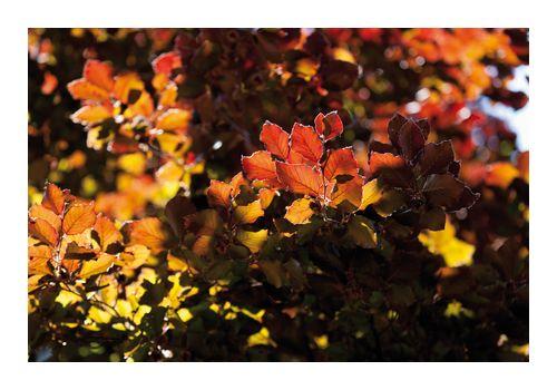 Bøkehekk i rødt og grønt (80 - 100 cm), bilde. 5