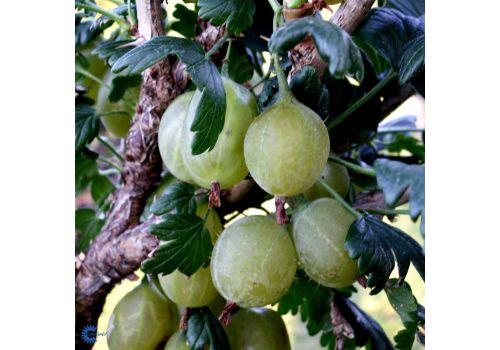 Stikkelsbær 'Hinnonmäki gul', bilde. 1