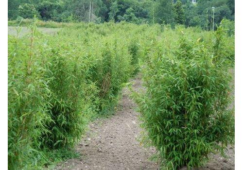"""Bambus """"Simba"""", bilde. 2"""