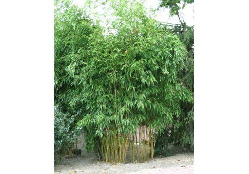 "Bambus ""Spectabilis"", bilde. 2"