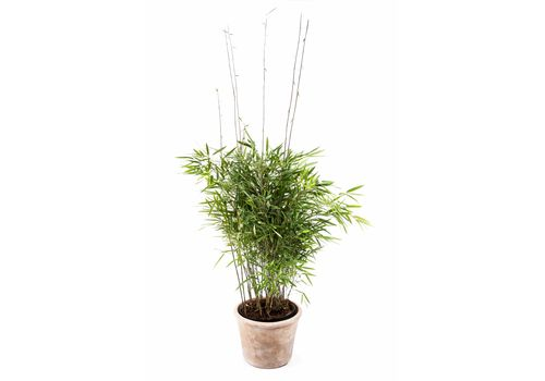 "Bambus ""Trifina"", bilde. 1"