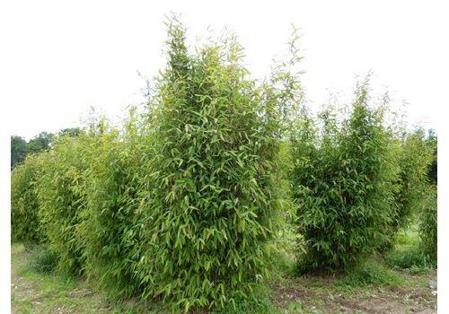 "Bambus ""Trifina"", bilde. 2"