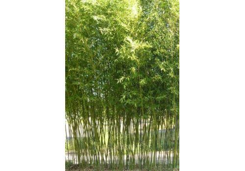 """Bambus """"Bissett"""", bilde. 4"""