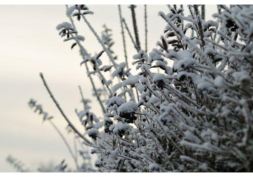 Vinterliguster (Ferdighekk 125 cm+), bilde. 9
