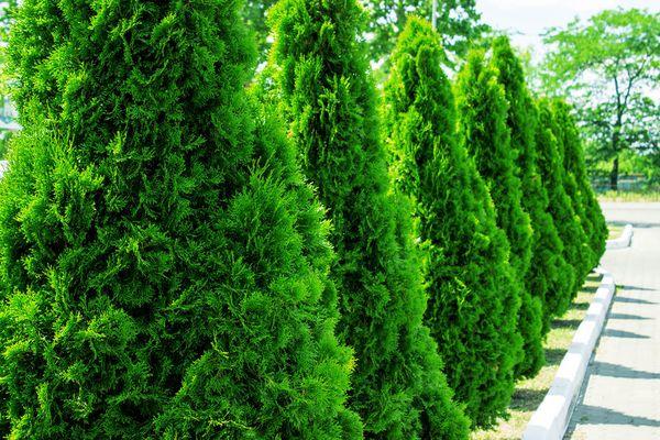 Vintergrønn Thuja